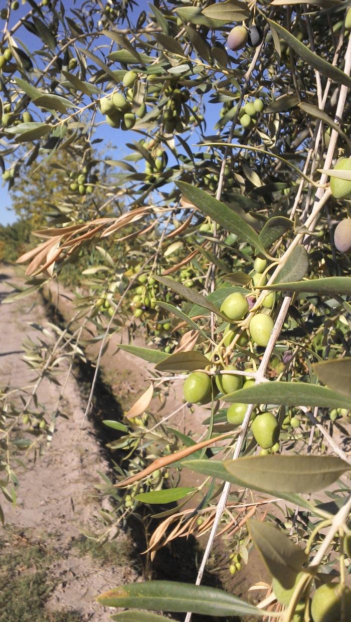 As oliveiras de Mendoza